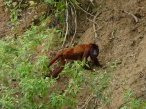 alone red howler monkey